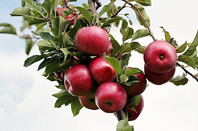 jablka, jabloň